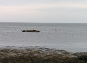 Seals on the rock and seals in the water!